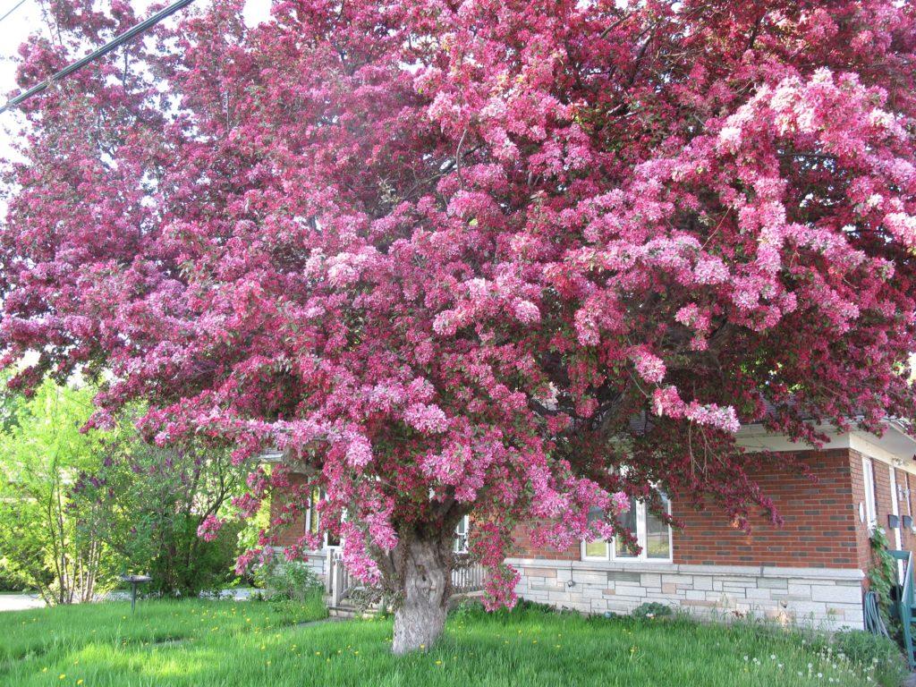 Un pommier d'ornement (ou pommier décoratif) dans toute sa beauté au mois de mai, à St-Thimothée (Salaberry-de-Valleyfield).